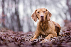 Vizslas. Dog head in the autumn leaves Royalty Free Stock Images