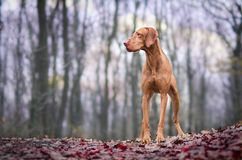 Vizslas. Dog head in the autumn leaves Stock Photo