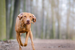 Vizslas. Dog head in the autumn leaves Royalty Free Stock Photography