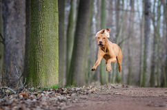 Vizslas. Dog head in the autumn leaves royalty free stock image