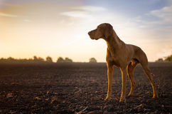 Vizslas. Dog head in the autumn leaves Stock Photography