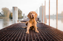 Vizslas. Dog head in the autumn leaves Stock Photos