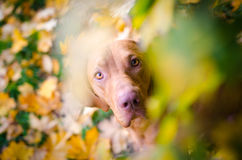 Vizslas. Dog head in the autumn leaves Royalty Free Stock Photos