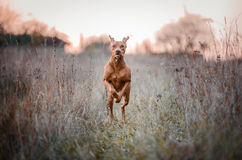 Vizslas. Dog head in the autumn leaves Stock Image
