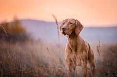 Vizslas. Dog head in the autumn leaves Royalty Free Stock Photo
