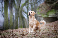 Vizslas. Golden retriever head in the autumn leaves Royalty Free Stock Photos