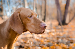 Vizslas head. Vizslas Dog head in the autumn leaves Royalty Free Stock Image