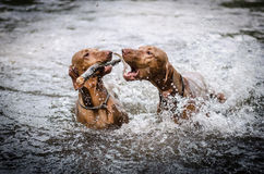 Vizslas. Two vizsla pointer plaing in the water Stock Photos