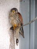 Vjetrusa / Falco tinnunculus / Kestrel Stock Photos