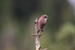 Vlaamse gaai in de boszitting op een tak Stock Fotografie