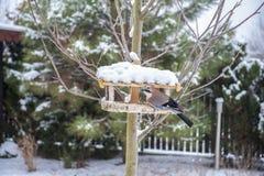 Vlaamse gaai die van de sneeuwvoeder van de tuinvogel eten stock foto's