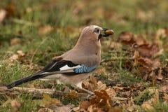 Vlaamse gaai, Garrulus Glandarius Kleurrijke vogel stock foto's