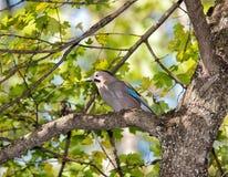 Vlaamse gaai met een noot op een boom in het bos Stock Afbeeldingen