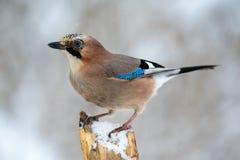 Vlaamse gaaivogel in de de winterzitting op een tak Royalty-vrije Stock Afbeelding