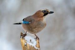 Vlaamse gaaivogel in de de winterzitting op een tak Royalty-vrije Stock Fotografie
