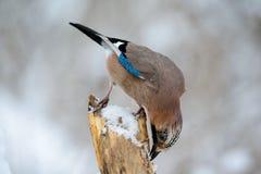 Vlaamse gaaivogel in de de winterzitting op een tak Stock Foto's