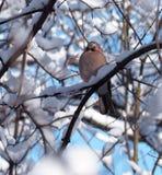 Vlaamse gaaizitting bij takhoogtepunt van sneeuw Royalty-vrije Stock Fotografie