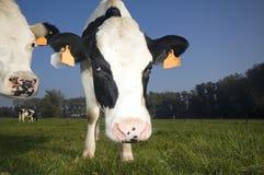 Vlaamse koe op het gebied Stock Afbeelding