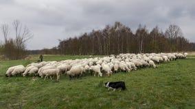 Vlaardingen, Нидерланд - 28-ое марта 2019: чабан и собаки пасут табуна овец в Broekpolder стоковая фотография rf