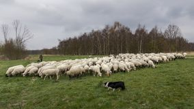 Vlaardingen, The Netherlands - march 28, 2019: shepherd and dogs graze a herd of sheep in the Broekpolder royalty free stock photography