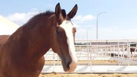 Vladimir Heavy Draft, raça do russo do cavalo de esboço pesado filme
