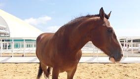 Vladimir Heavy Draft, raça do russo do cavalo de esboço pesado video estoque