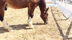 Vladimir Heavy Draft, raça do russo do cavalo de esboço pesado vídeos de arquivo