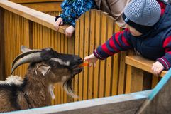Boy is feeding a young goat in a zoo stock images