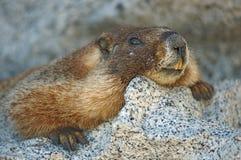 Vlak Dichte marmot royalty-vrije stock foto's