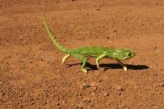 Vlak-necked kameleon Royalty-vrije Stock Fotografie