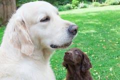 Vlakke Puppyspelen met Gouden Stock Foto's