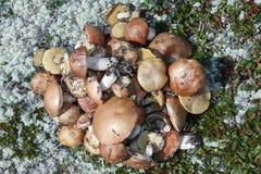 Vlakke reeks heerlijke vers geplukte wilde eetbare paddestoelen in toendra onder mos en gras Stock Afbeeldingen