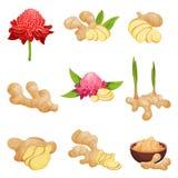 Vlakke vectorreeks gemberpictogrammen Verse wortels met plakken, bloemen en poeder Aromatisch kruid Groenten: snijbonen, wortelen stock illustratie
