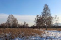 Vlakte van de de winter de landschap-sneeuwberk met naakte takken en heldere blauwe hemel royalty-vrije stock fotografie