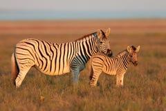 Vlaktes Zebras Royalty-vrije Stock Foto