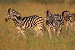 Vlaktes Zebras Stock Foto