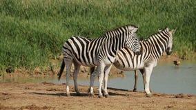 Vlaktes Zebras bij waterhole Stock Afbeelding
