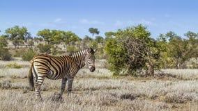 Vlakteszebra in het Nationale park van Kruger, Zuid-Afrika Royalty-vrije Stock Fotografie