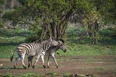 Vlakteszebra in het Nationale park van Kruger, Zuid-Afrika Royalty-vrije Stock Foto