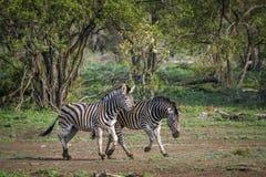 Vlakteszebra in het Nationale park van Kruger, Zuid-Afrika Stock Foto