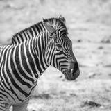 Vlakteszebra in het Nationale park van Kruger, Zuid-Afrika royalty-vrije stock foto's