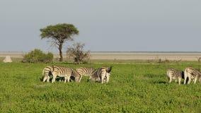 Vlakteszebras op Etosha-vlaktes stock videobeelden