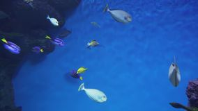 Vlaming`s unicornfish in marine aquarium stock footage video. Vlaming`s unicornfish in a marine aquarium stock footage video stock footage
