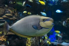 Vlamingii, море и океан Naso unicornfish Bignose удят Стоковые Фотографии RF