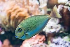 Vlamingii de Naso - unicornfish do bignose Imagens de Stock