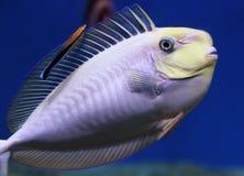 Vlamingii Naso unicornfish Bignose и уборщик Bluestreak wras Стоковое Изображение RF