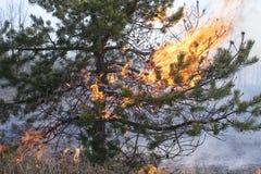 Vlammen in de kroon van de pijnboomboom Stock Afbeeldingen