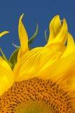 Vlammen van een zonnebloem Royalty-vrije Stock Afbeelding