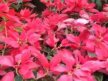 Vlammende rode kleurenbladeren van Poinsettiainstallaties Stock Fotografie
