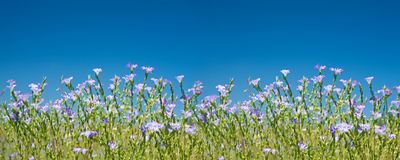 Het bloeien vlaspanorama Stock Foto's